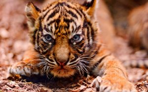 26-02-17-baby-tiger-wallpapers2447