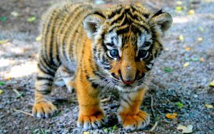 26-02-17-baby-tiger-wallpapers2448