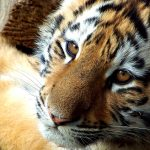 26-02-17-baby-tiger-wallpapers2453