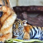 26-02-17-baby-tiger-wallpapers2456