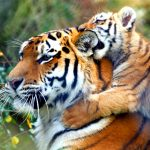 26-02-17-baby-tiger-wallpapers2457