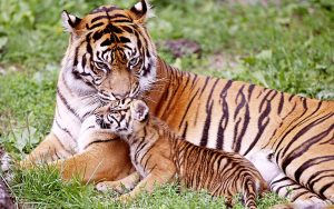 26-02-17-baby-tiger-wallpapers2483