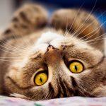 26-02-17-brown-cat-lying17618