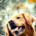 26-02-17-golden-retriever-dog-autumn-photo10927
