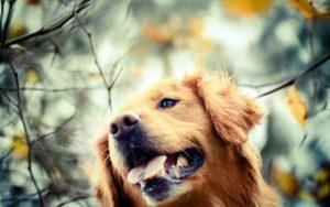 26-02-17-golden-retriever-dog-autumn-photo10927