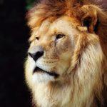 26-02-17-king-lion11873-