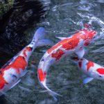 26-02-17-koi-fish-pictures12484