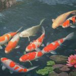 26-02-17-koi-fish8178