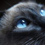 26-02-17-light-blue-eye-cat16900