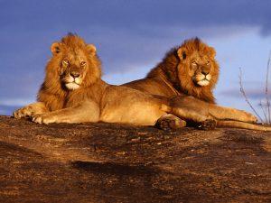 26-02-17-lion11246-