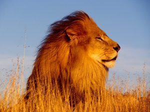 26-02-17-lion18445-
