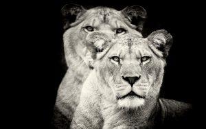 26-02-17-lioness-greysca-le16735