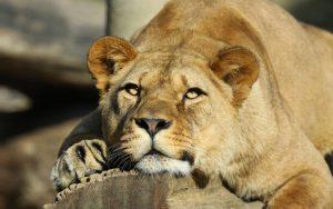 26-02-17-lioness-look185-22