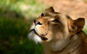 26-02-17-lioness-wallpap-er-hd9555