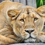 26-02-17-lioness-wallpap-er9556