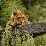 26-02-17-lioness-wallpap-er9557