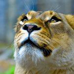 26-02-17-lioness11139-