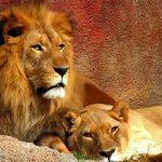 26-02-17-lions-pair10486-