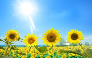 26-02-17-sunflower-wallpapers1808