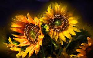 26-02-17-sunflower-wallpapers1810