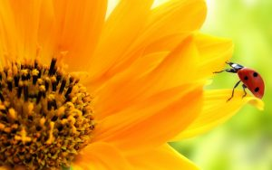 26-02-17-sunflower-wallpapers1812