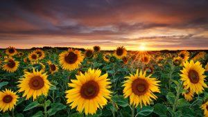 26-02-17-sunflower-wallpapers1820