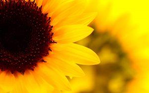 26-02-17-sunflower-wallpapers1822