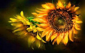 26-02-17-sunflower-wallpapers1826