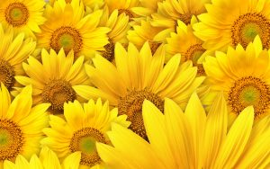 26-02-17-sunflower-wallpapers1829