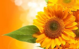 26-02-17-sunflower-wallpapers1830