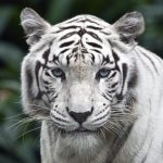 26-02-17-white-tiger-background11802