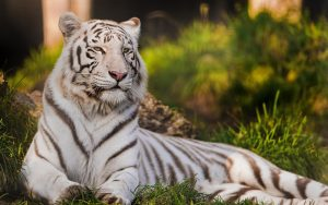 26-02-17-white-tiger15323