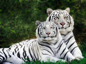26-02-17-white-tiger6524
