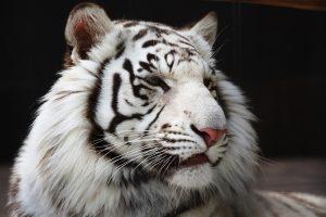 26-02-17-white-tiger6525
