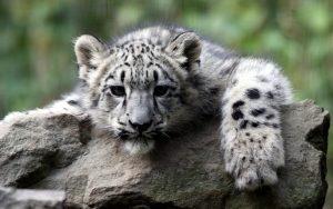 26-02-17-white-tiger6526