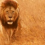 27-02-17-african-lion-pi-ctures15305