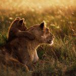 27-02-17-african-lion-wa-llpaper-widescreen14771