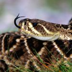 27-02-17-awesome-rattlesnake-wallpaper4651