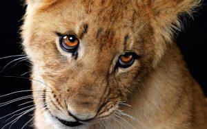 27-02-17-baby-lion8633-