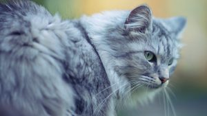 27-02-17-beautiful-cat-close-up-photo13424