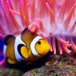 27-02-17-beautiful-clown-fish13811