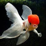 27-02-17-beautiful-goldfish-pictures13363