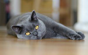 27-02-17-beautiful-gray-cat-photo12984