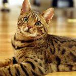 27-02-17-bengal-cat11687