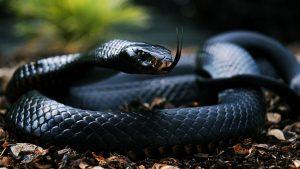 27-02-17-black-snake-wallpaper9515