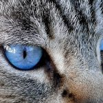 27-02-17-cat-blue-eyes11007