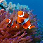 27-02-17-clown-fish-wallpaper11703