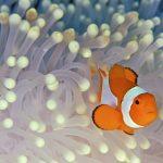 27-02-17-clown-fish-wallpaper12309