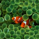 27-02-17-clown-fish-wallpaper17267