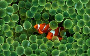 27-02-17-clown-fish-wallpaper17267
